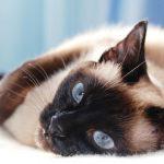 Siamese Cats - Breed Temperament & Health