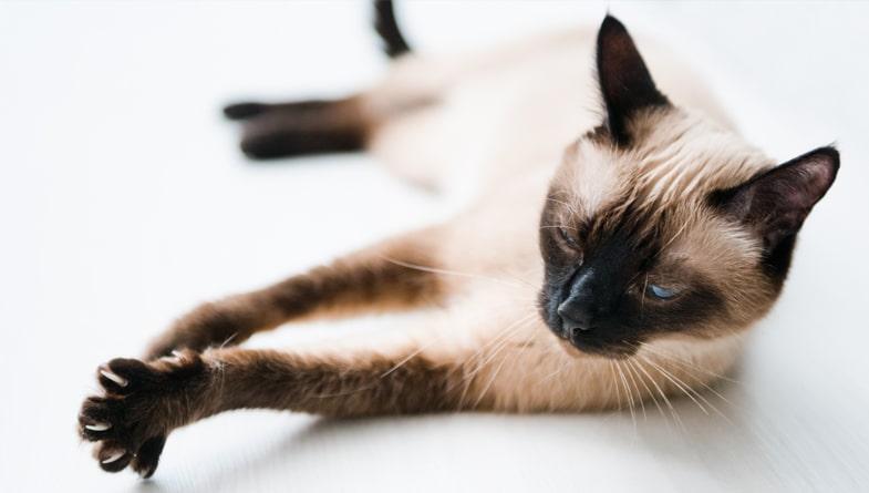 Train a Siamese Cat