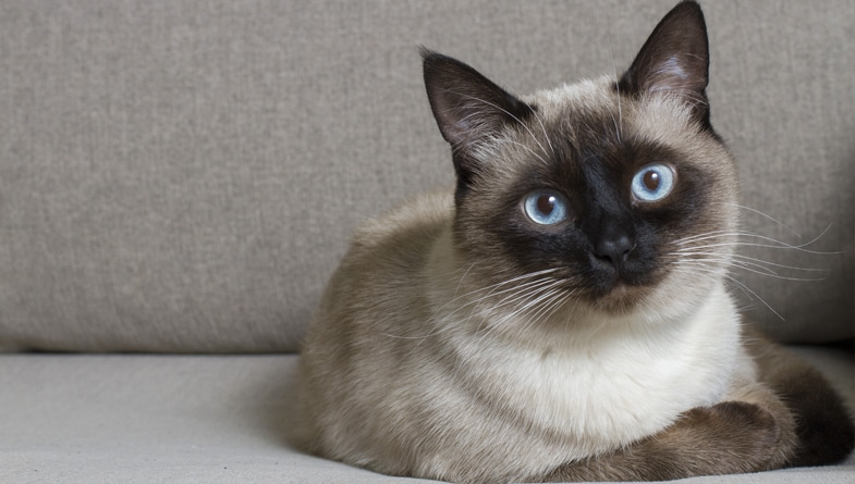 About Siamese Cats