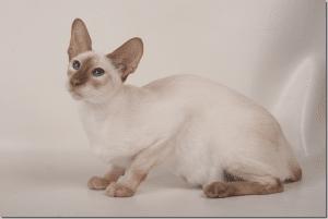 Siamese cat Cinnamon Points