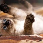 Tips & Tricks: How to Train a Siamese Cat