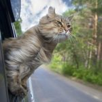 How to Travel with Your Cat in The Car?