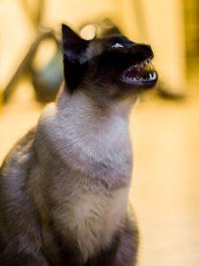 cat Teeth grinding