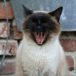 Siamese Cat Teeth Grinding: Causes, Reason & Tips to Prevent
