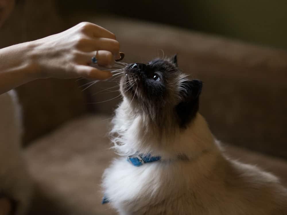 Siamese Cat a Pill