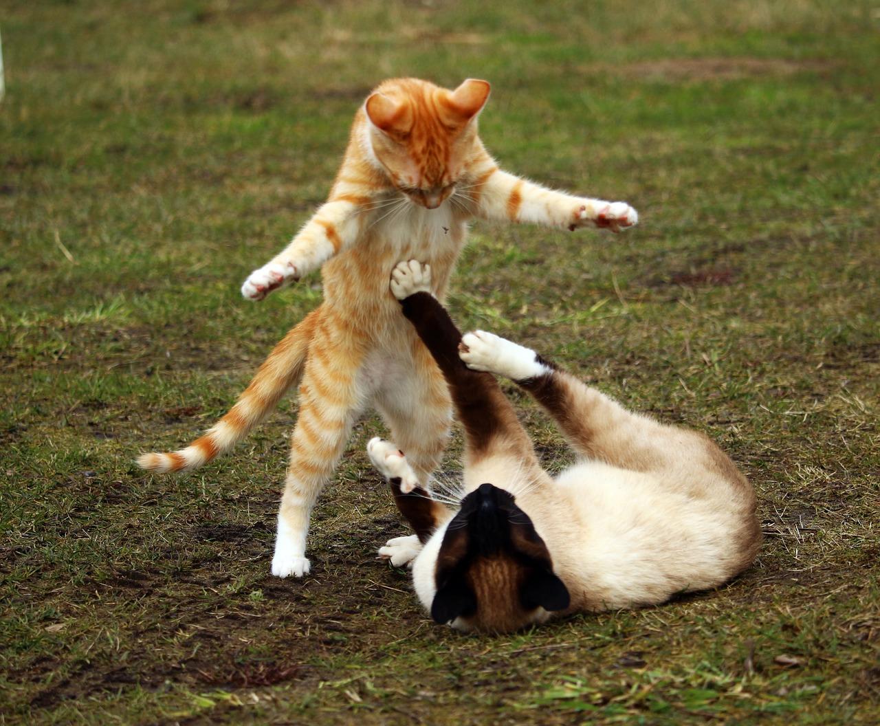 Siamese cat behave