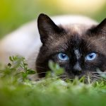 Are the Siamese cats protected?, check the history of Siamese!