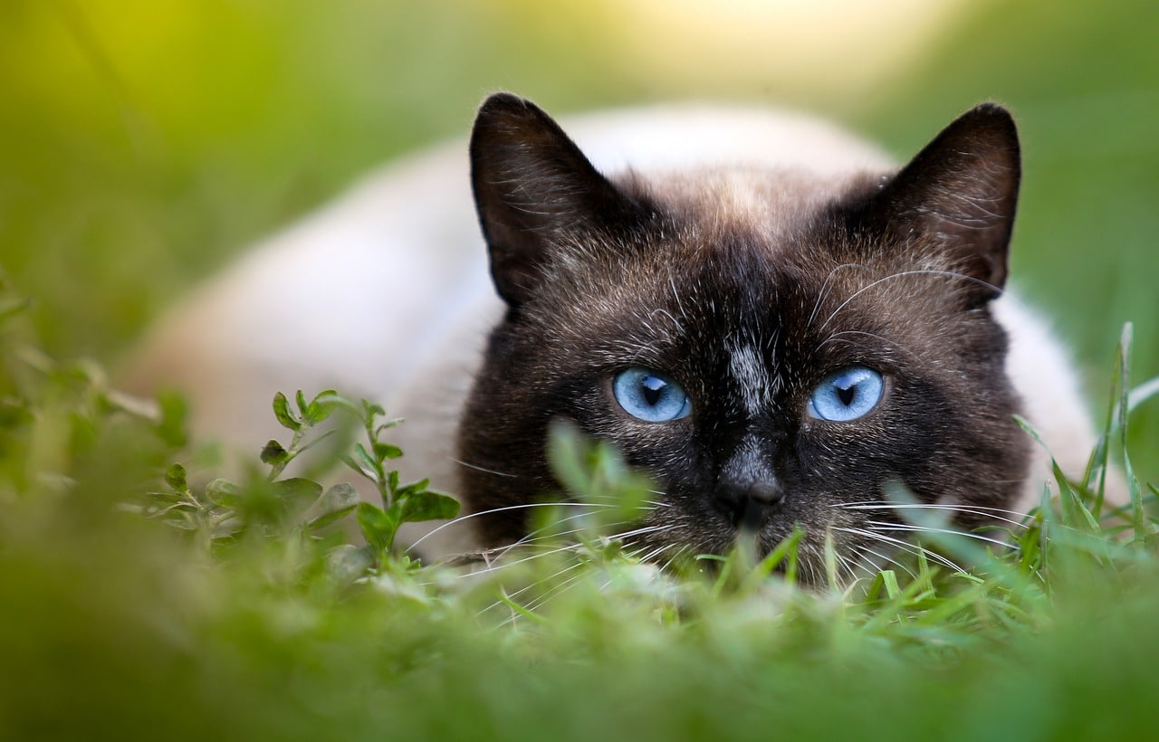 history of the Siamese breed