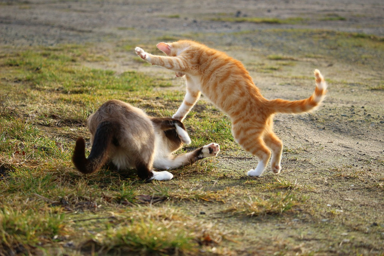 Introducing Cats each other