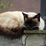 Long Haired Grooming Tips for Siamese Cat