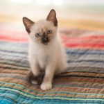 6 Ways to Care for Siamese Cats