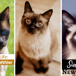 Siamese  Cat Life: Better and Healthier in New Year 2020