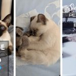 Siamese Cat Personality and Behavior