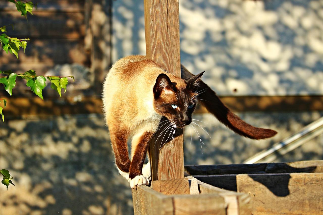 Siamese cat Adventurous