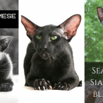 Black Siamese Cat - Is There Such A Breed?