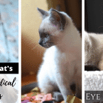 Siamese Cat's Common Medical Disorders