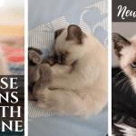 Siamese kittens Growth Timeline