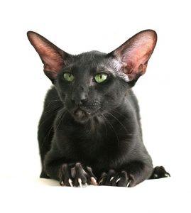 Seating Black Siamese cat