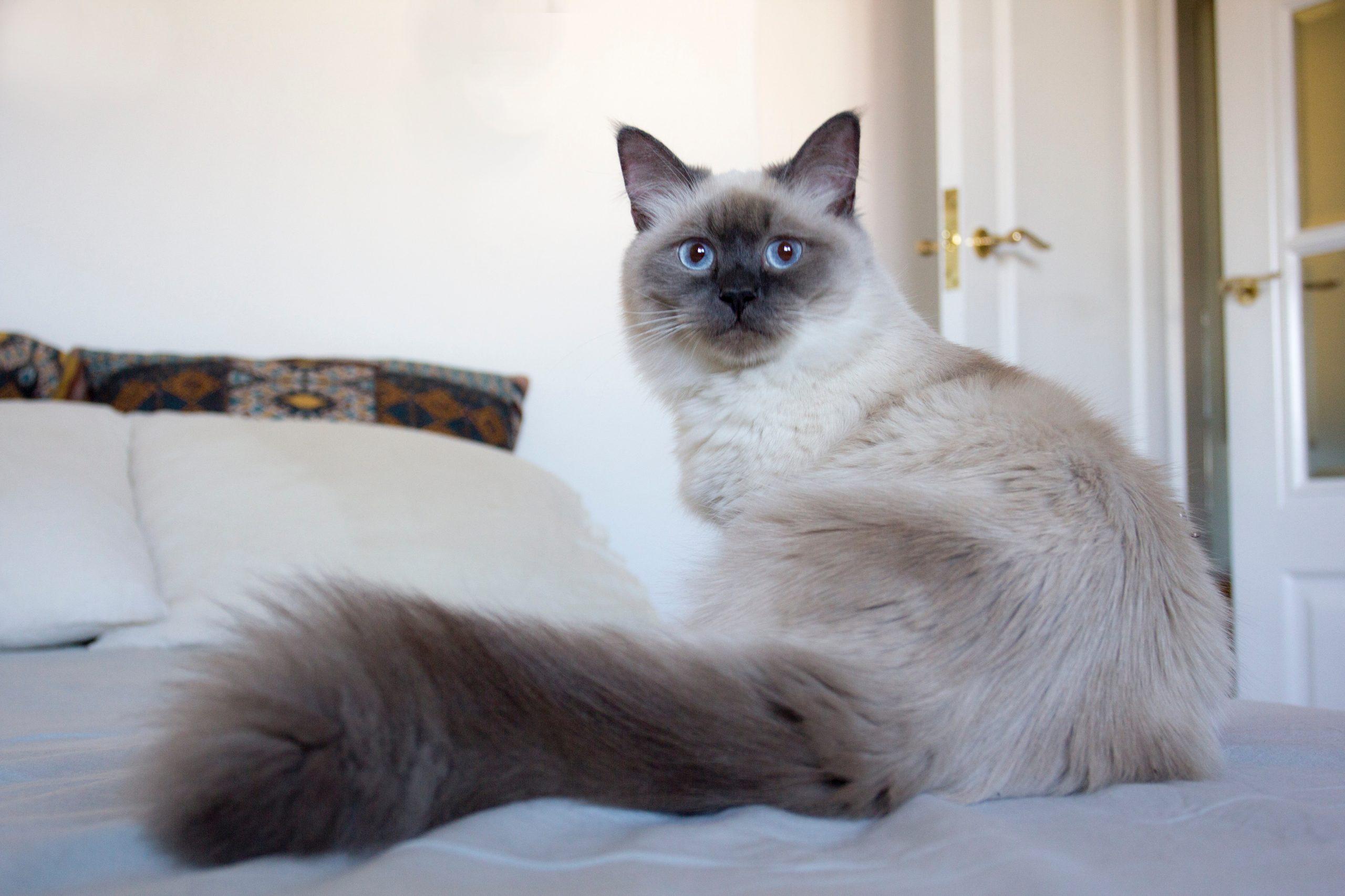 Siamese Cats Hypoallergenic