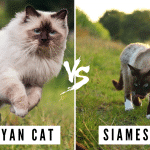 Difference between Siamese & Himalayan Cats