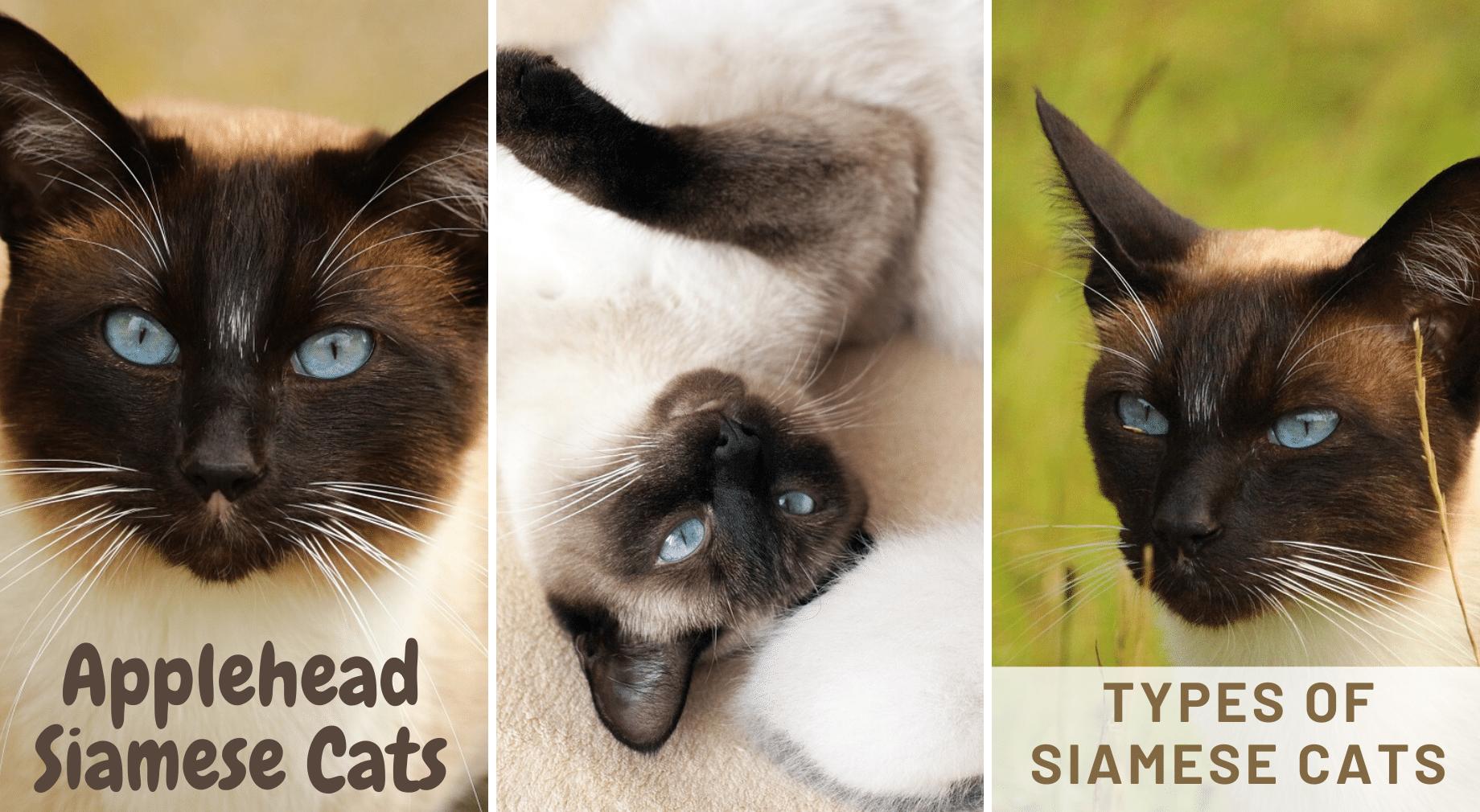 Applehead Siamese Cats