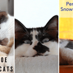 Snowshoe Siamese Cats: Personality, Health & Coat Color