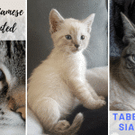 All About Tabby Pointed Siamese cat