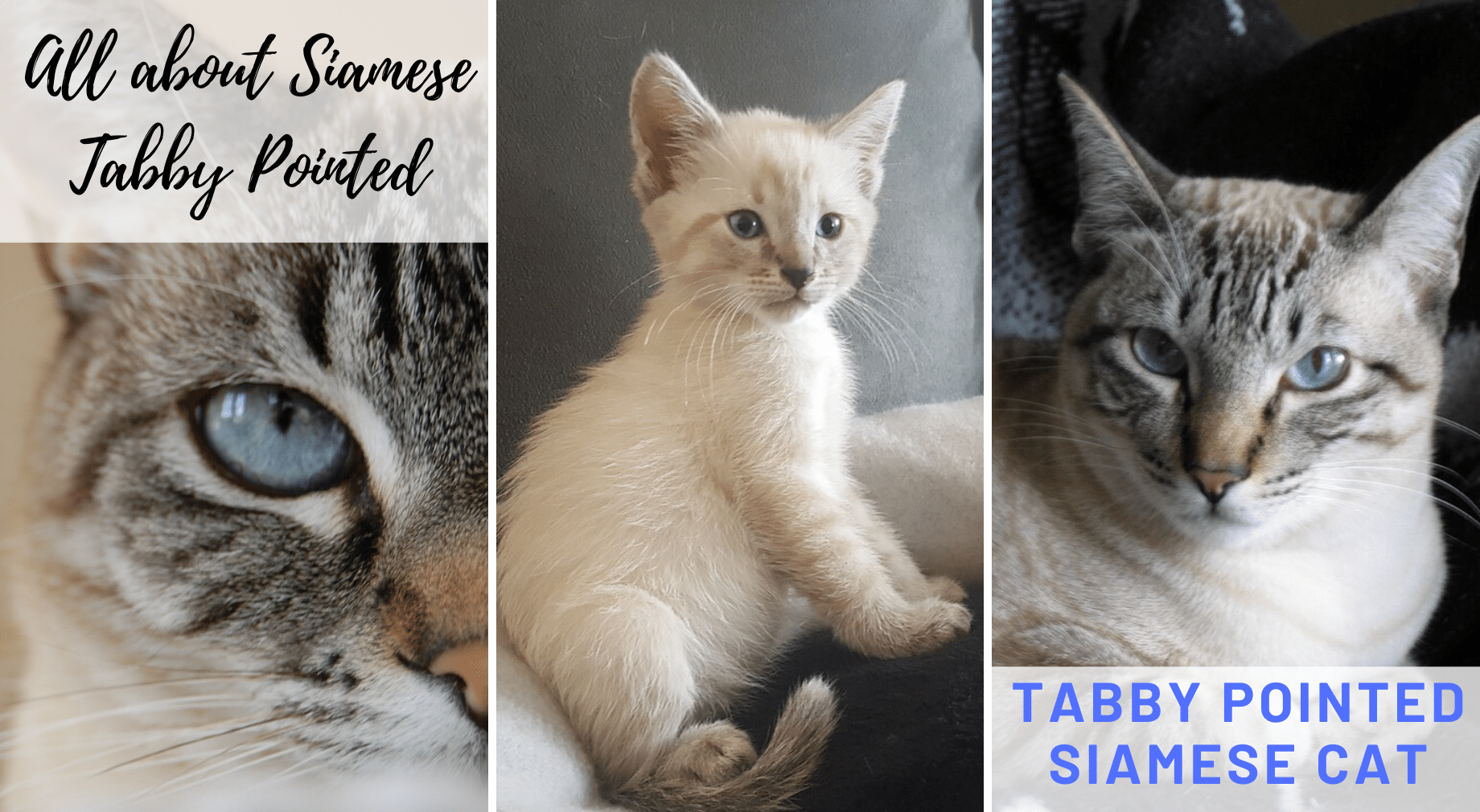 Tabby Pointed Siamese Cat