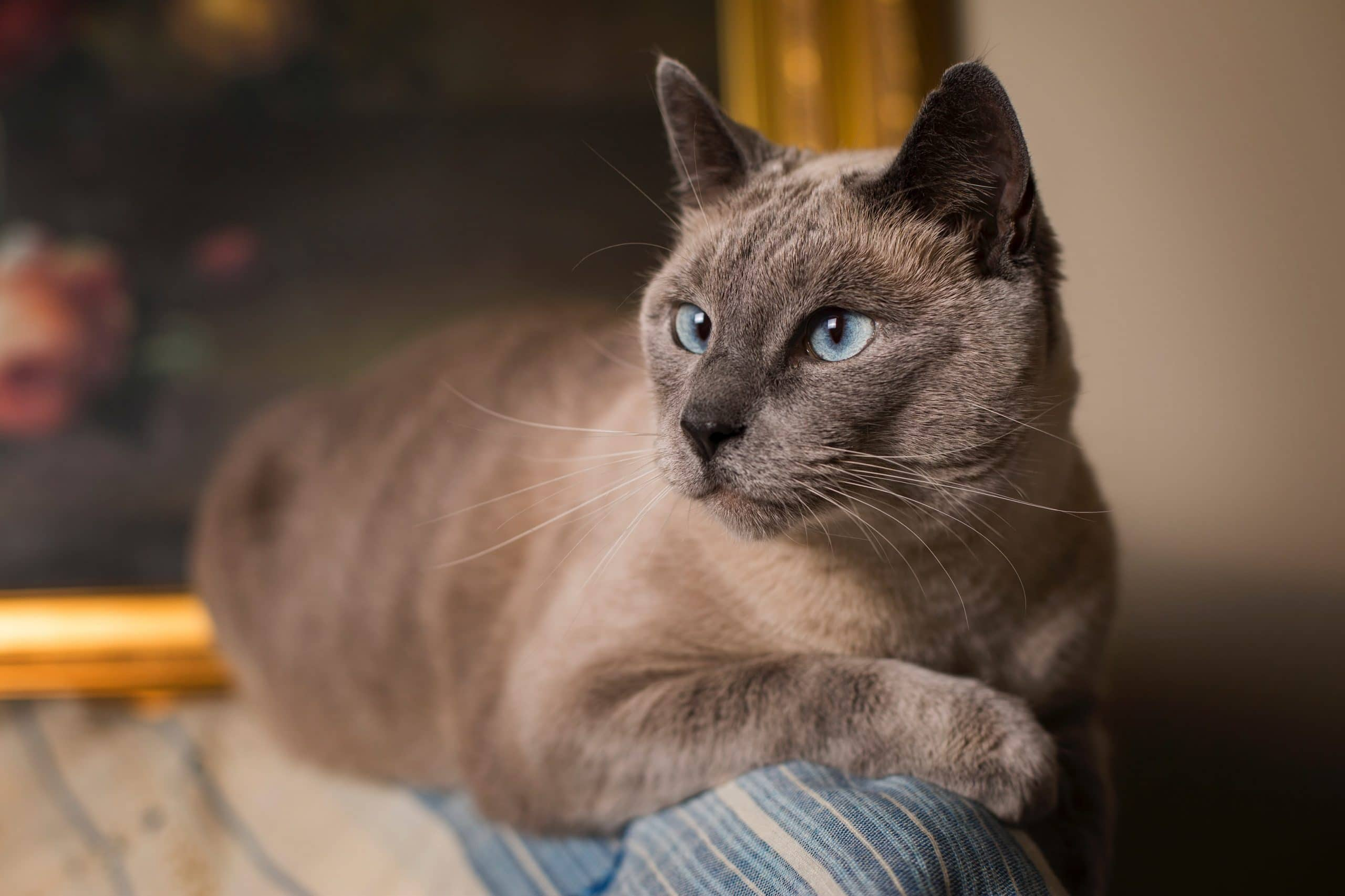 All About Chocolate Point Siamese Cat Siameseofday