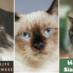 How Long Do Siamese Cats Live? How to Increase Their Lifespan