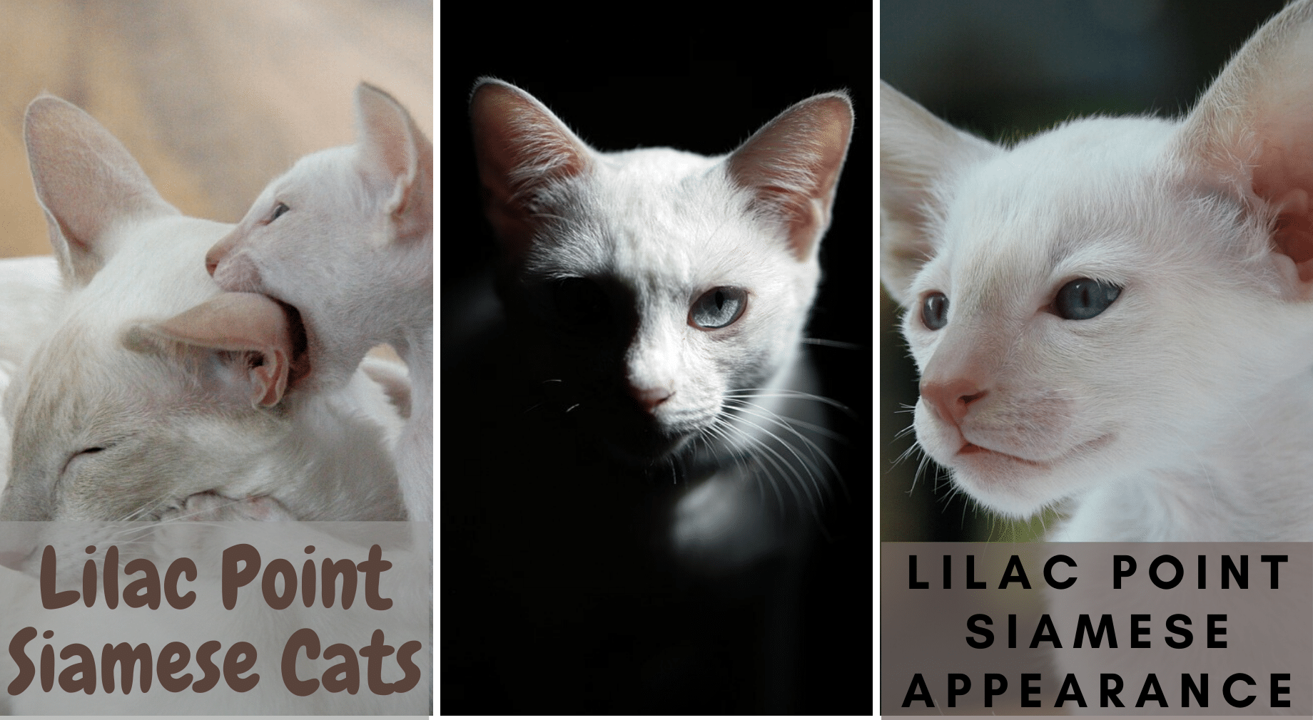 Lilac Point Siamese Cats Siamese Of Day