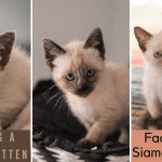 How to adopt a Siamese kitten