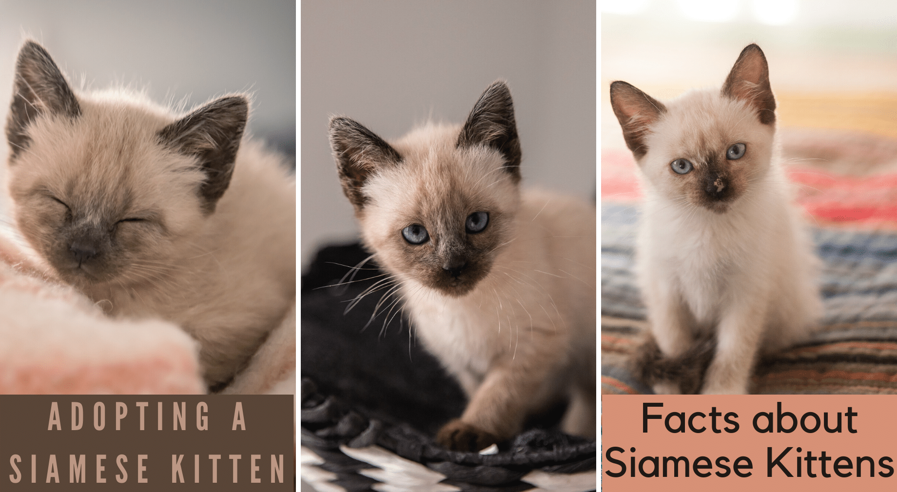 How To Adopt A Siamese Kitten Siamese Of Day