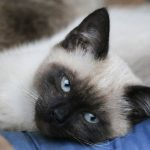 Balinese Cat - Full Profile, History, Diet and Care