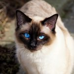 Why Siamese Cats Have Blue Eyes!