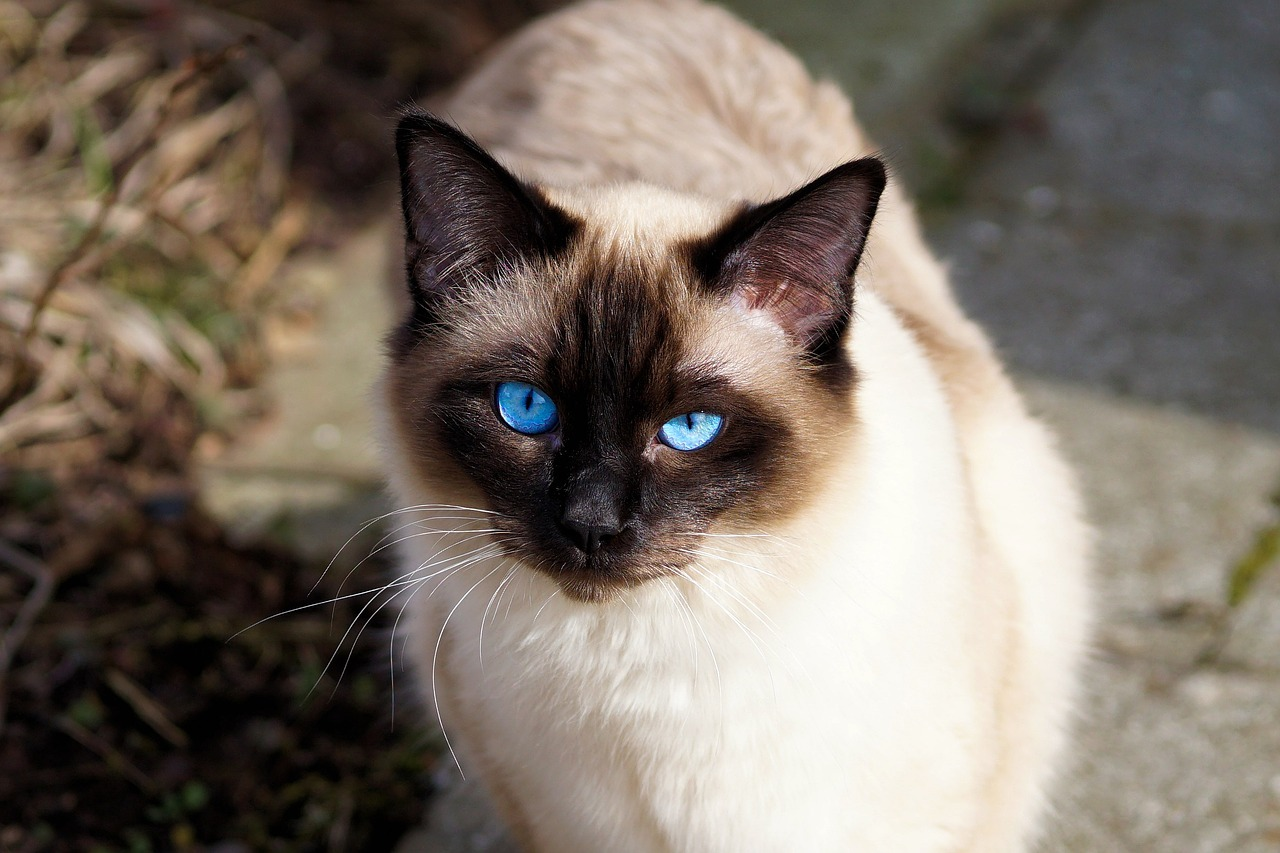 Siamese Cats Have Blue Eyes