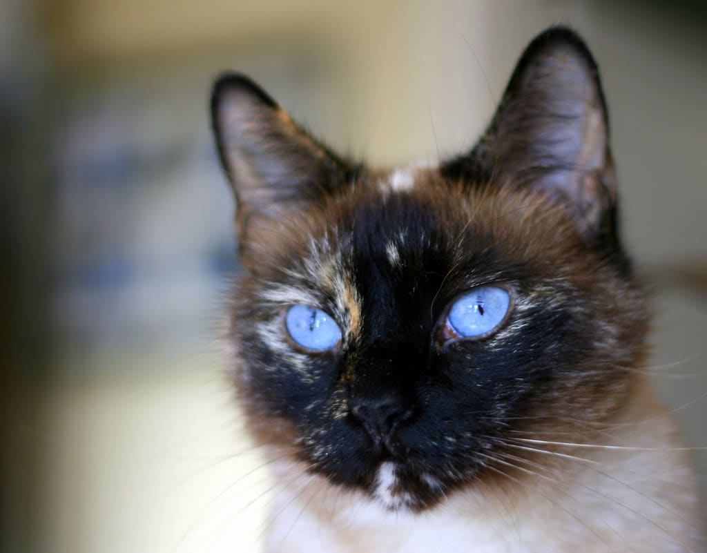 tortie-point-siamese-cat