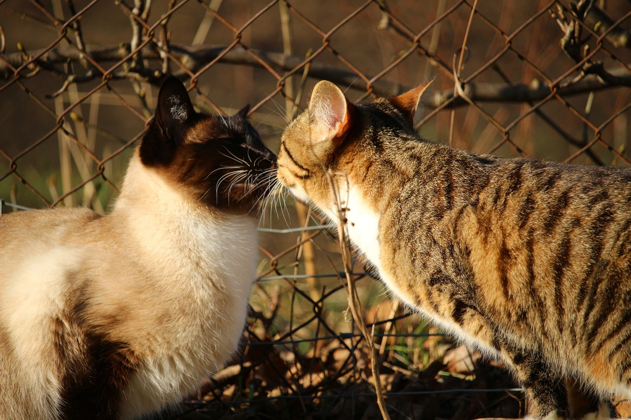 Siamese Cats and Domestic Cats