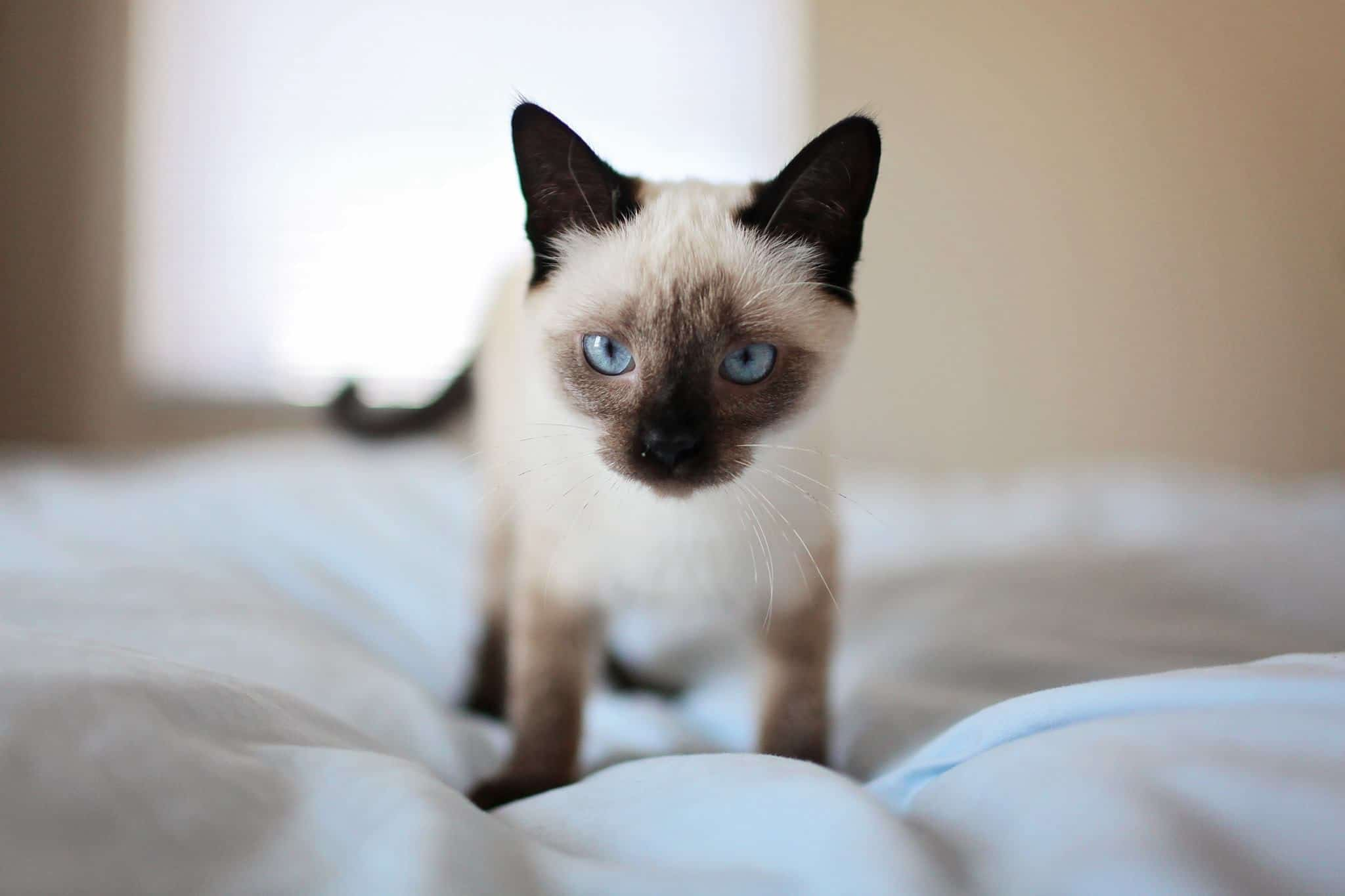 Siamese Cat Alone