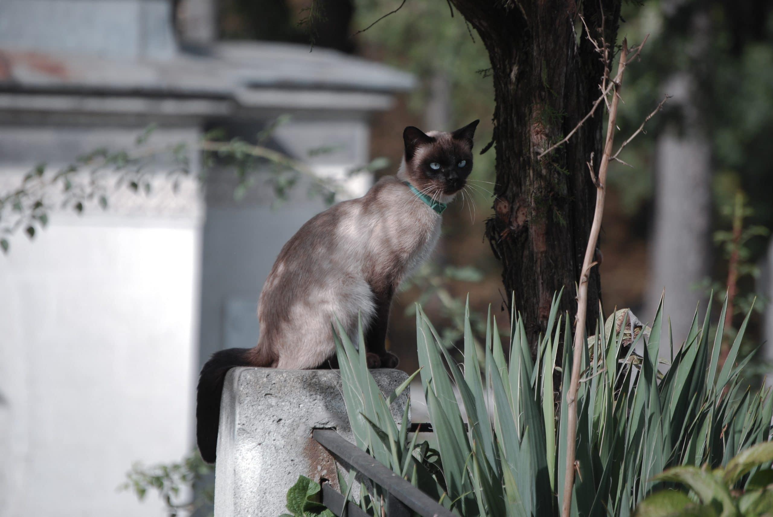 Siamese Cats Meow