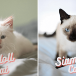 Differences Between Ragdoll and Siamese Cats