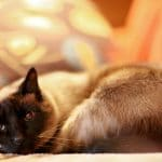 Training a Cat to Be Quiet: Siamese Cat Meow Excessive and Yowling