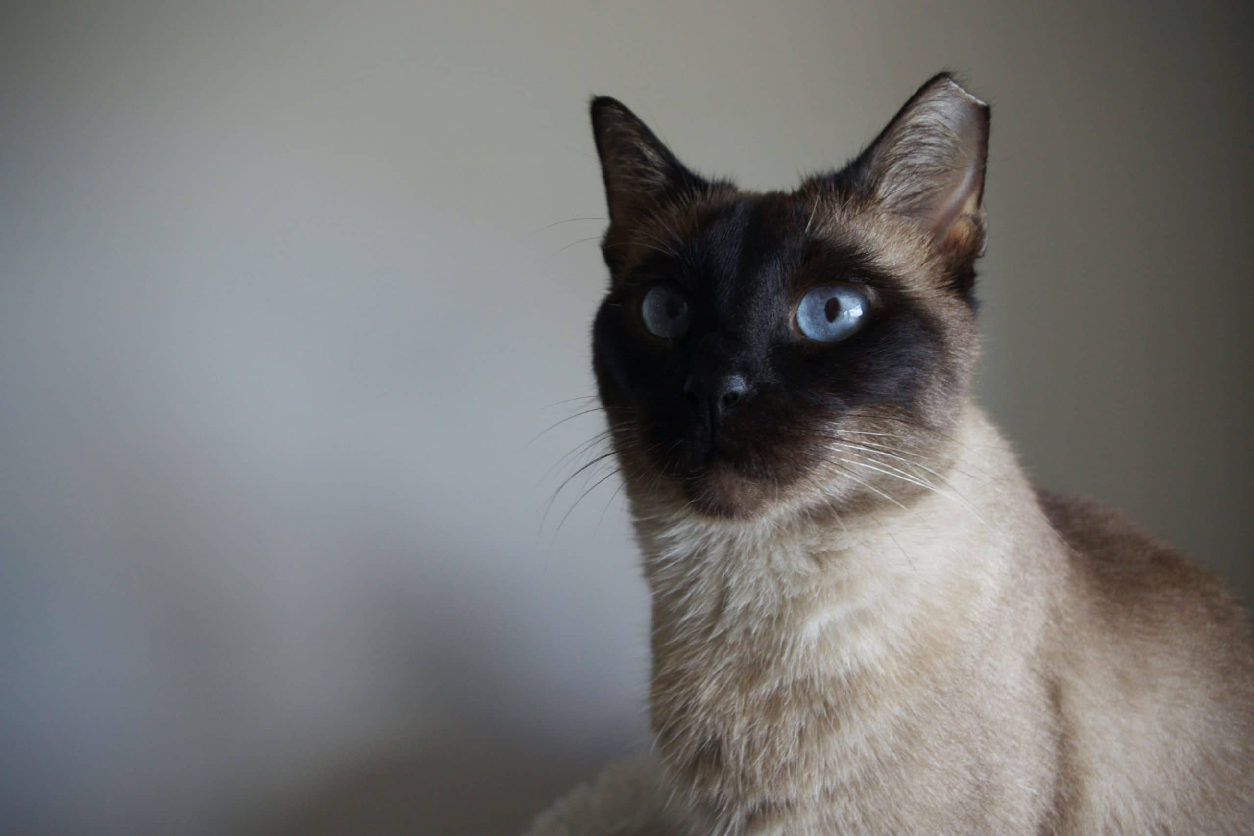 Siamese cat name