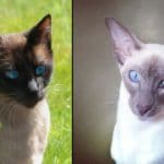 Wedge Head Siamese Vs. Traditional Siamese – What's The Difference?