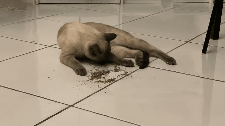 Siamese cat Catnip