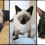 Do Siamese Cats Change Color? Answer Might Surprise You