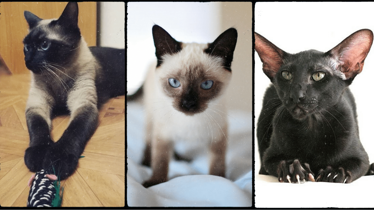 siamese cat color change