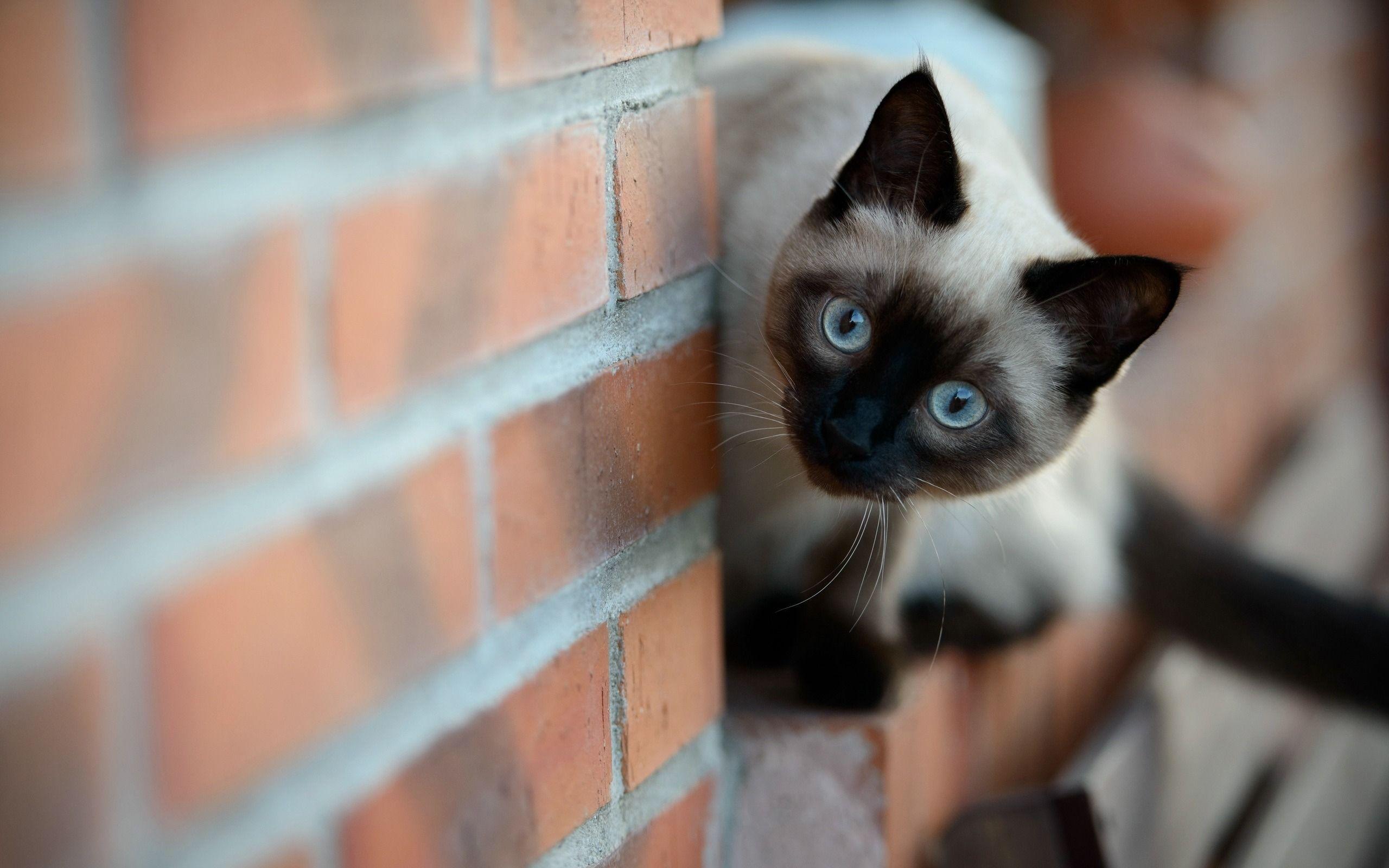 Siamese Cats Mean