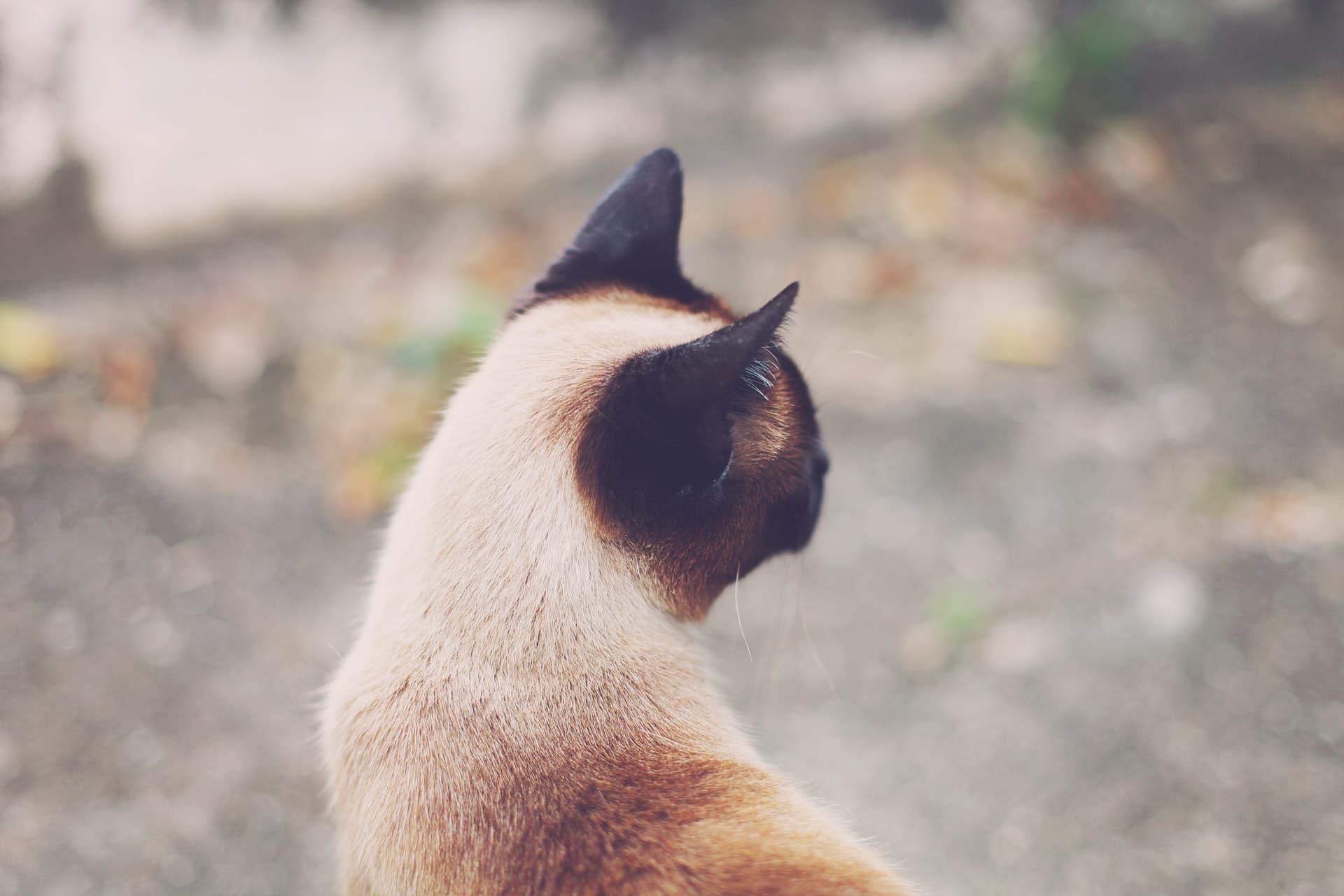 Siamese Cat Outside