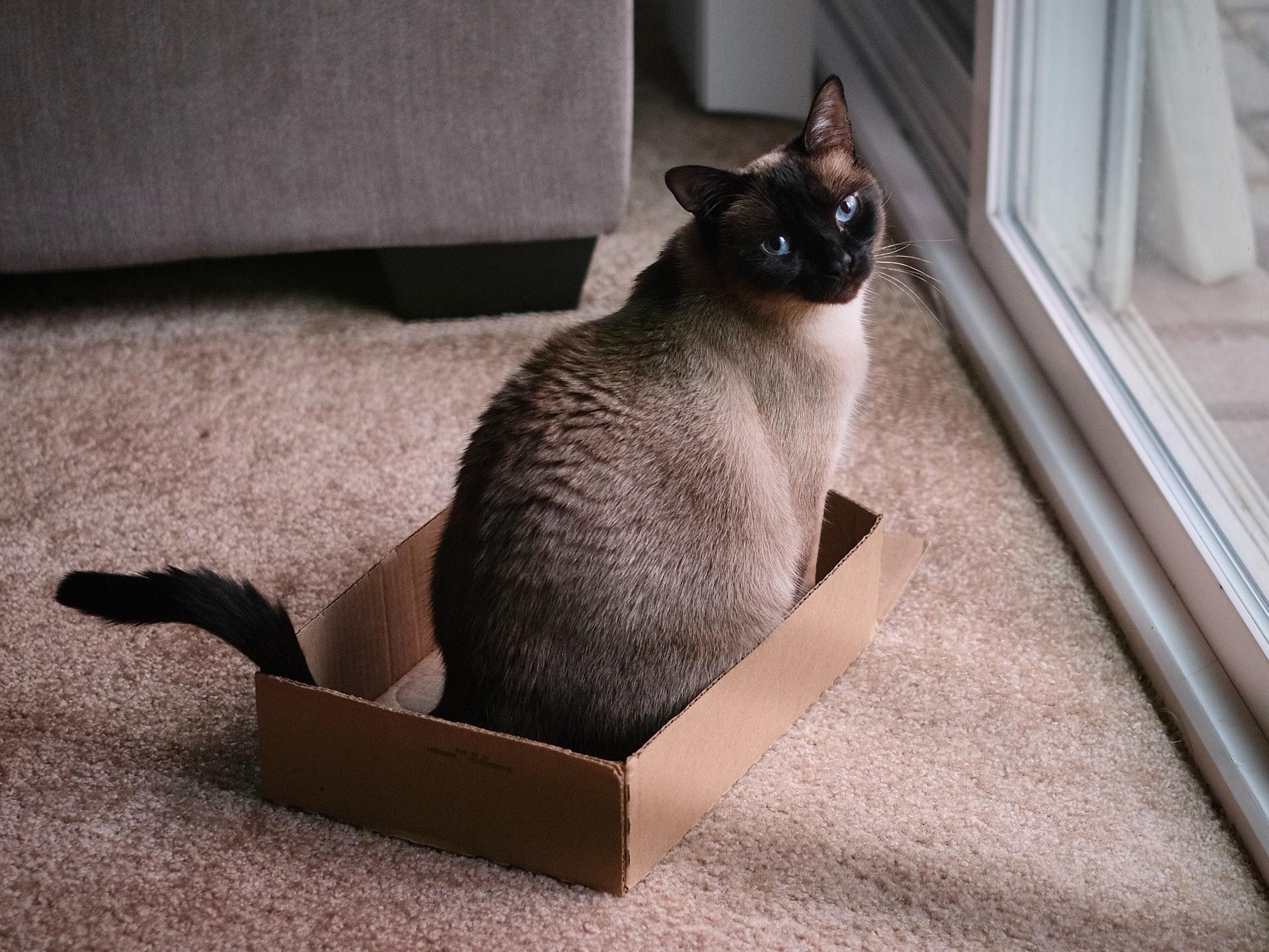 Siamese Cat Pregnancy